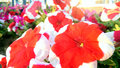 Red flowers in wayside Royalty Free Stock Image