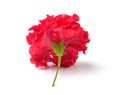 Red flowers  on white background Royalty Free Stock Photo