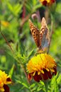 red flowers with a yellow core on a background of blurred green foliage. Butterfly on a flower Royalty Free Stock Photo
