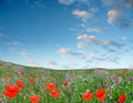 Red flowerses grow on green field Stock Photography