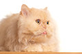 Red fluffy cat. Royalty Free Stock Photos