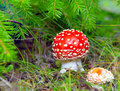Red fly agaric Stock Images