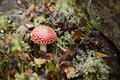 Red fly agaric Stock Photography