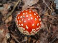 Red fly agaric in the autumn forest among pine needles and grass moss . The red and white poisonous toadstool or mushroom
