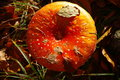 Red fly agaric in Forest, Bulgaria Royalty Free Stock Photo