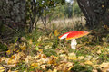 Red flyagaric large with broken cap in forest in autumn Royalty Free Stock Photo