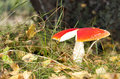 Red flyagaric large with broken cap in forest in autumn Stock Image