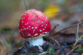 Red flyagaric mushroom closeup in a forest Stock Images