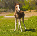 Red foal  pony stand Royalty Free Stock Image