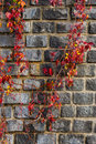 Red foliage winds by old stone wall neatly laid with with dark blue berries Stock Images