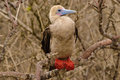 Red footed booby Royalty Free Stock Images
