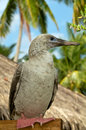 Red-Footed Booby Stock Photo