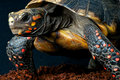 Red-footed tortoise Royalty Free Stock Photo