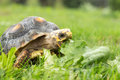 Red footed tortoise south american Stock Image