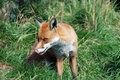 Red Fox 0035 Royalty Free Stock Photos