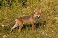 Red Fox on alert Royalty Free Stock Image