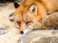 Red fox asleep