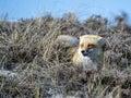 Red Fox on Beach Dunes Royalty Free Stock Photo