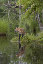 Red fox with beautiful reflection looking off into the distance in a clear lake Stock Photography