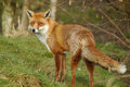Red fox beautiful in it s natural habitat Stock Photography