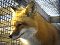 Red Fox - Caged Royalty Free Stock Image