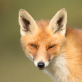 Red fox close portrait Royalty Free Stock Images