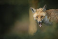 Red fox a close up head shot of a looking straight at the camera with it s mouth open and teeth showing Stock Image