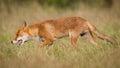 Red fox closeup Royalty Free Stock Photo