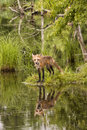 Red fox covered with morning dew beautiful reflection in standing next to a lake Royalty Free Stock Photo