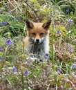 stock image of  Red Fox Cub In Bluebells