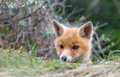 Red fox cub between the bushes Stock Images