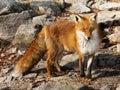Red Fox Cub Closeup Royalty Free Stock Photo