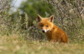 Red fox cub looks in the new world Royalty Free Stock Photos