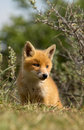 Red fox cub looks in the new world Stock Photography