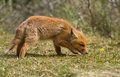 Red fox cub looks in the new world Royalty Free Stock Photo