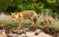 Red fox cub and mother morther in a new world Royalty Free Stock Photo