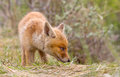 Red fox cub in a new world Royalty Free Stock Photos