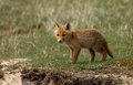 Red fox cub in a new world Stock Photos