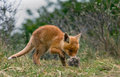 Red fox cub playing with a piece of fur Royalty Free Stock Image