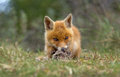 Red fox cub playing with a piece of fur Stock Photo