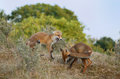 Red fox cubs cub playing together Stock Photo