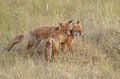 Red fox cubs cub playing together Stock Photos