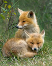 Red fox cubs two sitting together in the grass Stock Photos