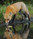 Red Fox Drinking Stock Photo