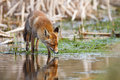 Red fox drinking water Stock Photo