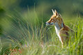Red fox in the dunes Stock Photography