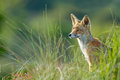 Red fox in the dunes Royalty Free Stock Photo
