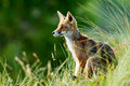 Red fox in the dunes Royalty Free Stock Images