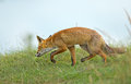 Red fox in the dunes Stock Photos