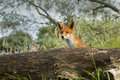 Red fox in the dunes Royalty Free Stock Photos